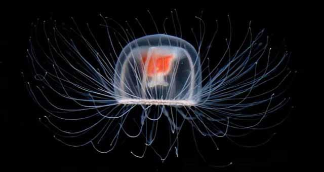 meduza nemuritoare