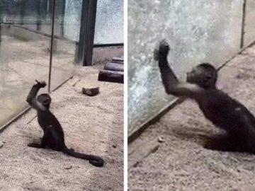 maimuţă a ascuţit o piatră