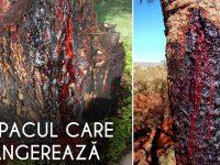 copacul care sângerează