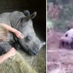 pui de rinocer plânge după mama