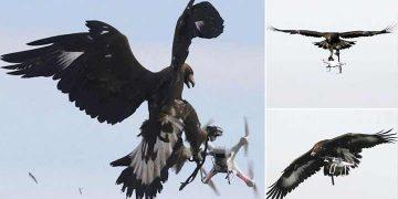 vulturi care doboară drone