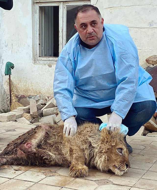 rupt picioarele unui pui de leu