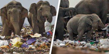 elefanţi care cotrobăie prin gunoaie