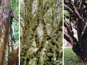 copacul jabuticaba