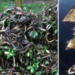 insula Şerpilor din Brazilia